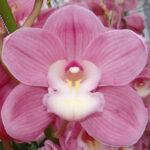 Bella Donna Aquarella Cymbidium Orchidee Present Orchids