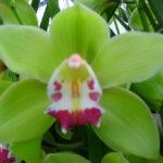 Bremo Cymbidium Orchidee Present Orchids