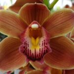Burgundian Chateau Cymbidium Orchidee Present Orchids
