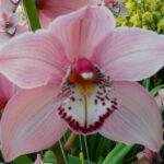 Claron Cymbidium Orchidee Present Orchids