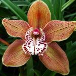 David Brown Cymbidium Orchidee Present Orchids