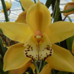 Daydream Cymbidium Orchidee Present Orchids