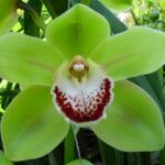 Eagle Apple Green Cymbidium Orchidee Present Orchids