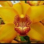 Ester Cymbidium Orchidee Present Orchids