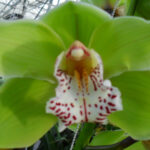 Fairgard Ycing Cymbidium Orchidee Present Orchids