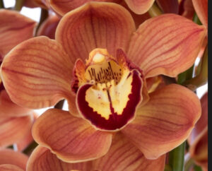 Florida Cymbidium Orchidee Present Orchids