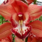 Fredericka Cymbidium Orchidee Present Orchids