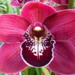 Hades Cymbidium Orchidee Present Orchids