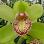 Hans Cymbidium Orchidee Present Orchids