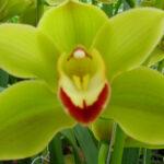 Jungle Trail Cymbidium Orchidee Present Orchids