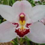 Long John Cymbidium Orchidee Present Orchids