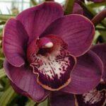 Lucifer Cymbidium Orchidee Present Orchids