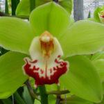 Machteld Cymbidium Orchidee Present Orchids