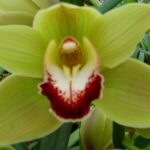Madrid Cymbidium Orchidee Present Orchids