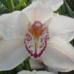 Marianne Cymbidium Orchidee Present Orchids