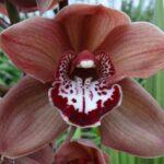 Mokka Cymbidium Orchidee Present Orchids