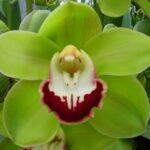 Mokorua Cymbidium Orchidee Present Orchids