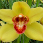 Nevada Cymbidium Orchidee Present Orchids