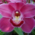 Nikita Cymbidium Orchidee Present Orchids