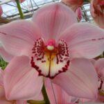 Pink Salmon Cymbidium Orchidee Present Orchids