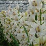 Present Orchids kas