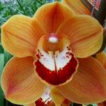 Renee's Wish Cymbidium Orchidee Present Orchids