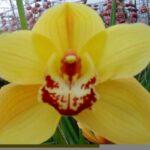 Rijssenhout Cymbidium Orchidee Present Orchids