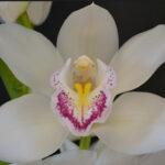 Silver Cymbidium Orchidee Present Orchids