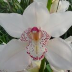 Sugarlee Cymbidium Orchidee Present Orchids