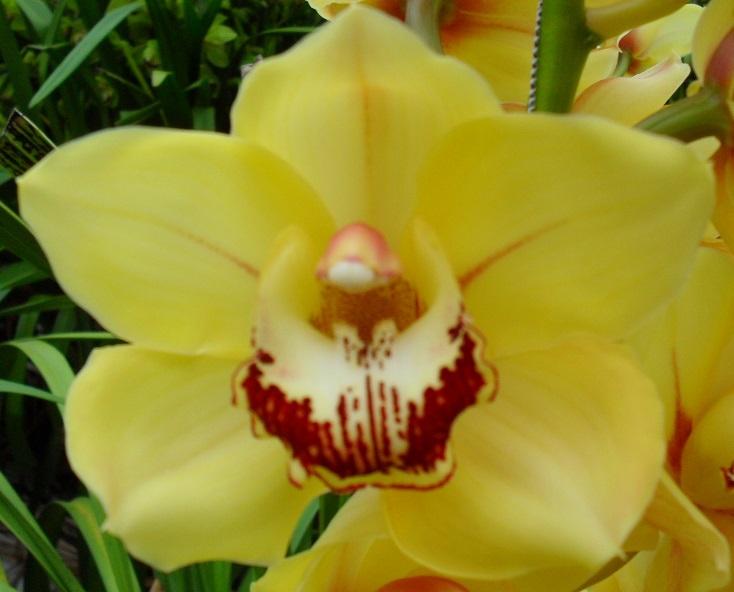 Sunkist Cymbidium Orchidee Present Orchids