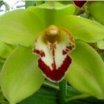 Yonina Cymbidium Orchidee Present Orchids