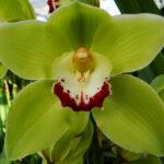 green choise cymbidium orchidee