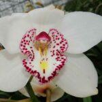 Nieuwe witte cymbidium orchidee